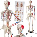 YA/L011B Human Skeleton Model with Hand Painted Muscles and Detailed Numbers 180cm Tall