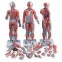 YA/L104 Whole Body Muscled Model